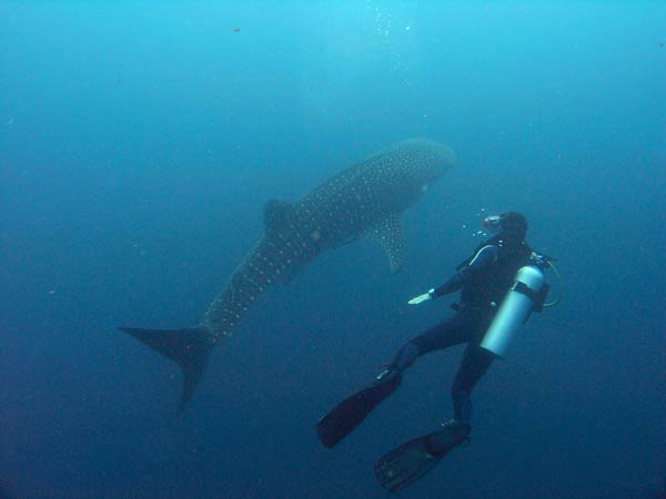 whale shark at savedra house reef in moalboal